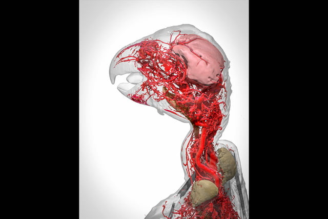 wellcome image awards 2017 blood vessels of the african grey parrot2