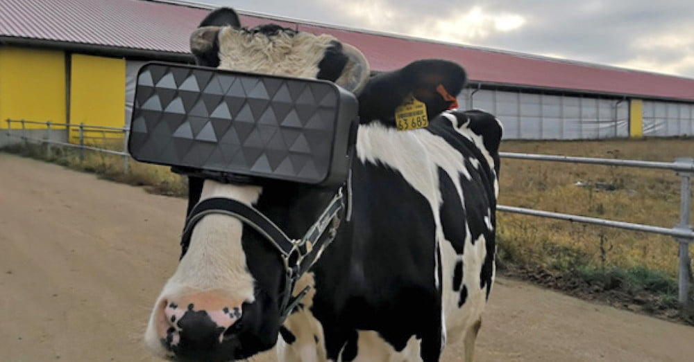 Russian Farmers Stick VR Goggles on Cows to Improve Milk Production
