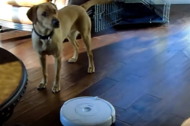 Peachy This Dog Knows How To Turn Off A Roomba Digital Trends Download Free Architecture Designs Scobabritishbridgeorg