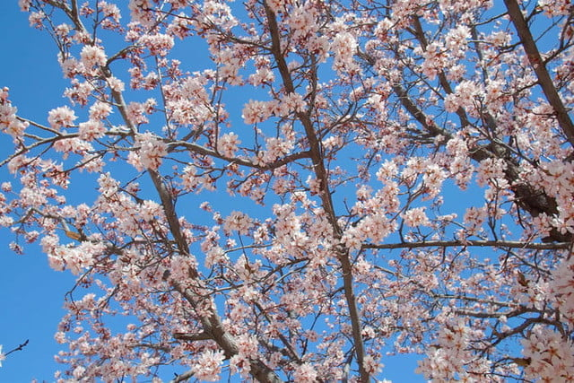 the best zoom backgrounds videoblocks cherry blossom tree leaves flowers
