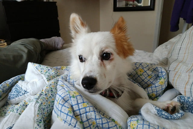Moto Z2 Force review camera sample dog in bed